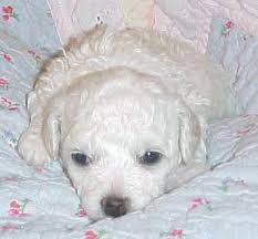 bichon frise dog breeders bichon frise puppies for sale purebred registered bichon frise