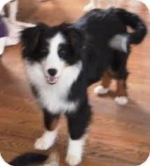 australian shepherd kansas starsky adopted dog overland park ks australian shepherd