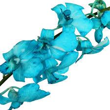 blue dendrobium orchids fuji blue dendrobium