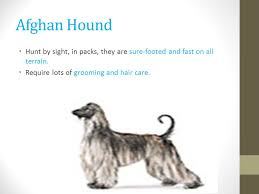 afghan hound club of st louis dog breeds id vet tech ppt video online download