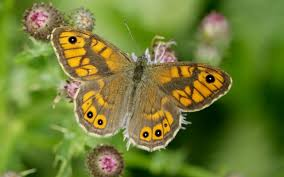 final warning u0027 decline in butterflies raises fears over pesticides