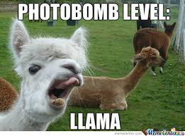 Llama Meme - llama memes best collection of funny llama pictures