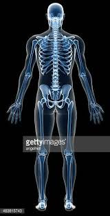 Picture Of Human Anatomy Body Human Skeleton Stock Photos And Pictures Getty Images
