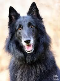 belgian sheepdog gifts zoey u0026 zula wag your tail photography