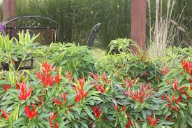 growing ornamental peppers the most versatile beautiful