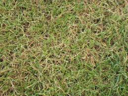 concimazione tappeto erboso il prato 礙 ingiallito fare i rimedi con la giusta irrigazione