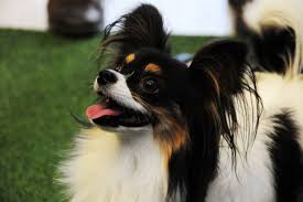 papillon dog savagely attack in own backyard by an animal