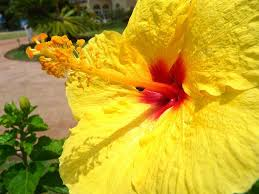 Yellow Hibiscus Flowers - types of flowers in maui hawaiian rainforest flowers
