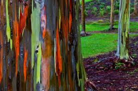 rainbow eucalyptus tree for sale fast growing trees