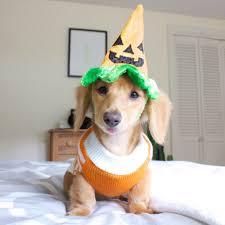 funny thanksgiving dog pictures little pumpkin my bucket list pinterest little pumpkin