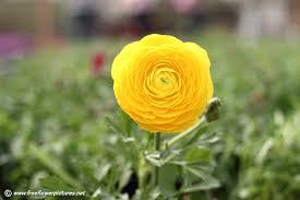 Ranunculus Flower Yellow Ranunculus Flower Picture Flower Pictures 6019