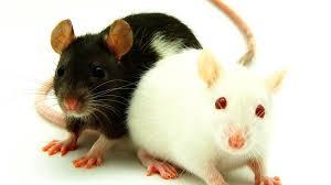 pet rat varieties pet rats