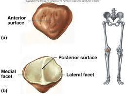 Knee Bony Anatomy The Patella Also Known As The Knee Cap Is A Triangular Shaped