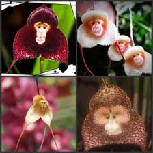 monkey orchids discount monkey orchid flowers 2017 orchid monkey flowers