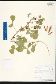 native plants of south dakota crotalaria incana species page isb atlas of florida plants