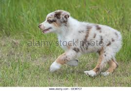 australian shepherd dog puppies blue merle australian shepherd pup stock photos u0026 blue merle