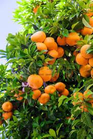 orange tree stock photos pictures royalty free orange tree