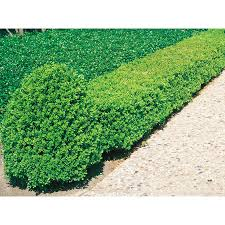 shop 2 quart white wintergreen boxwood foundation hedge shrub