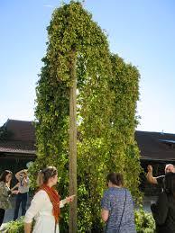 the hops of hallertau