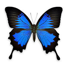 black and blue butterfly on white background stock image image