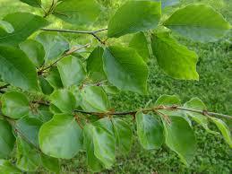 fagus sylvatica fagus sylvatica u0027rotundifolia u0027 rotundifolia european beech