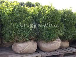 buxus sempervirens in vaso buxus sempervirens arborescens produzione e vendita greggio vivai