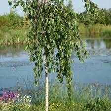 betula utilis trunk weeping himalayan birch tree
