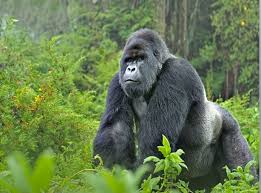 gorilla balloon itineraries safaris coffee tours mountain gorilla