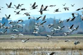 northwest nature notes cranes and herons