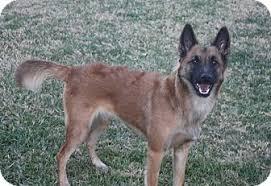 belgian sheepdog rescue adoption harper adopted dog henderson nv belgian malinois belgian