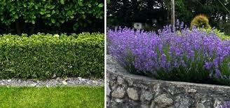 hedge shrubs large shrubs hedge plants a hedge shrubs zone 3