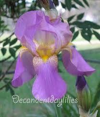 Irises How To Plant Grow by Striped Bearded Bearded Iris Plants Planting Growing U0026 Caring