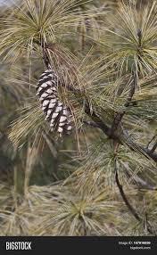 white pine cone bhutan pine cone pinus wallichiana image u0026 photo bigstock