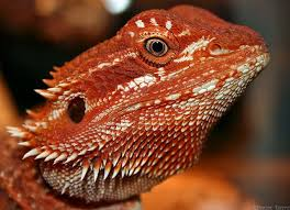 25 red bearded dragon ideas lizards reptiles