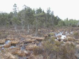 new jersey pine barrens among the stately trees