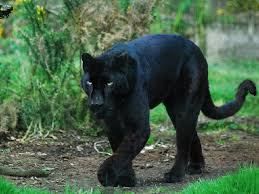 black jaguar blue eyes insharepics black panther pinterest