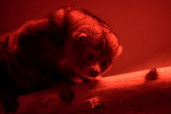 Put On The Red Light The World U0027s Newest Photos Of Potto Flickr Hive Mind