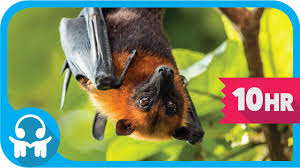 white noise nature sounds australian fruit bats youtube