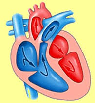 Online Human Body Human Heart A Great Pump With Long Pipelines