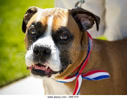 boxer dog york boxer boxers dog dogs stock photos u0026 boxer boxers dog dogs stock