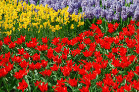 daffodils tulips and hyacinths free stock photo public domain