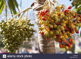 Palm Trees Fruit - fruit on palm trees in florida home design u0026 interior design