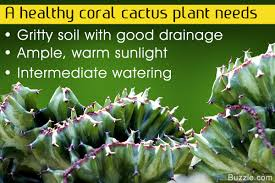 How To Revive A Plant Vital Tips To Grow And Care For A Coral Cactus Plant