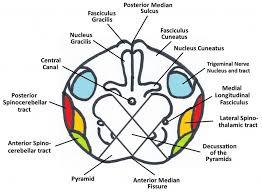 Brain Stem Anatomy The Medulla Oblongata Internal Structure Vasculature