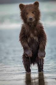Black Bear Decorations Home Images About Bears On Pinterest Brown Grizzly And Black Bear Idolza