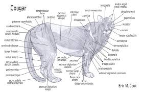 Dog Body Parts Anatomy Image Cougar Muscles By Wiggle Chicken D2zhynm Jpg Animal Jam