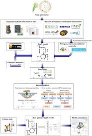 frontiers modeling rice metabolism from elucidating