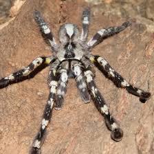 fringed ornamental tarantula poison search tarantula