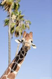 San Diego Zoo Safari Park Map by Best 10 San Diego Zoo Ideas On Pinterest San Diego Vacation