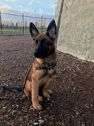 belgian shepherd epilepsy my 13 week old shepinois 1 2 gsd 1 2 malinois germanshepherds